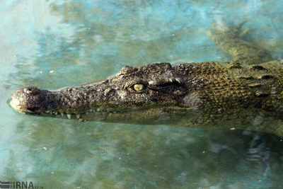 هجوم تمساحها به مناطق سیلزده صحت ندارد