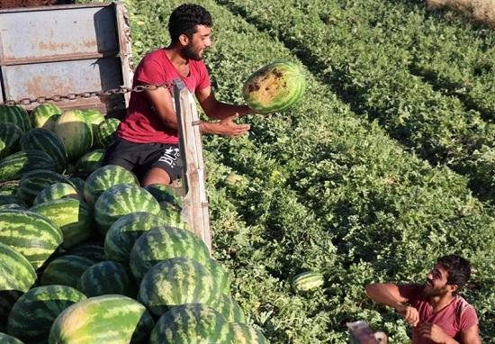 قیمت ۷ برابری هندوانه از زمین تا بازار